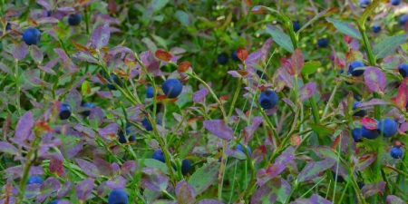 Plocka blåbär är mödan värt.